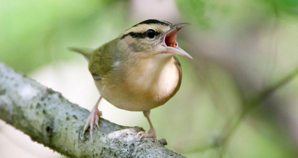 Worm-eating Warbler by Harold Davis