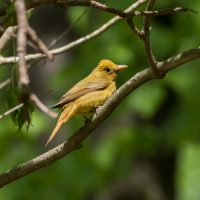 Summer Tanager by Harold Davis