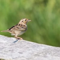 Grasshopper Sparrow by Harold Davis