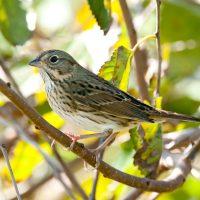 Vesper Sparrow by Harold Davis
